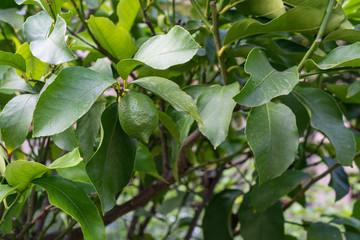 leaf leaves from citrus sinensis orange close up view