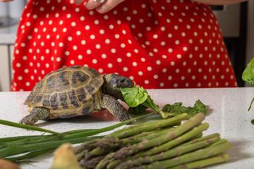 Adorable tortoise eating roman salad