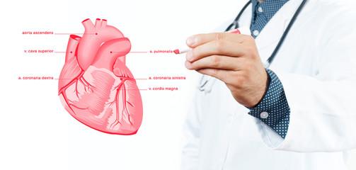 Medicine. Doctor. Vector - anatomical heart