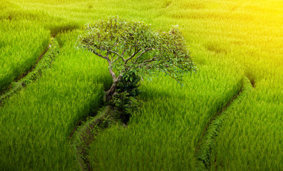 Small Plumeria tree among natural lush green rice field with sun rays in Chiang-mai, Thailand