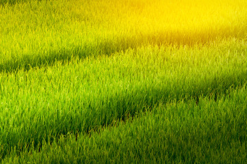Step of natural lush green rice field with sun rays effect in Chiang-mai, Thailand
