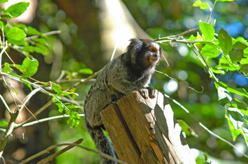 little monkey marmoset on the top of a trunk