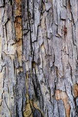 Close up bark of tree trunk called Baywood Tree, Mahogani, beautiful natural texture, Mahogany bark For the background image