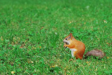 Portrait of a cute little red squirrel with a nut sitting on grass in the forest.