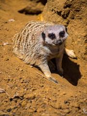 Meerkat in Orange Dirt