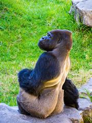Gorilla with Side Glance over Shoulder