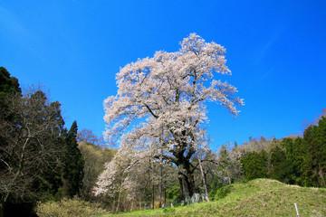 秋山の駒ザクラ(福島県・川俣町)