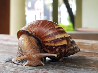 """Snail crawling on the wood table, Burgundy snail,a terrestrial """"Pulmonate"""" gastropod mollusk in the family """"Helicidae""""."""