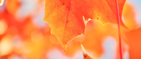 Vibrant color of red oak maple leaves during fall season in Seattle, Washington, USA. Natural backlit light, soft and selective focus with bokeh. Panorama style.