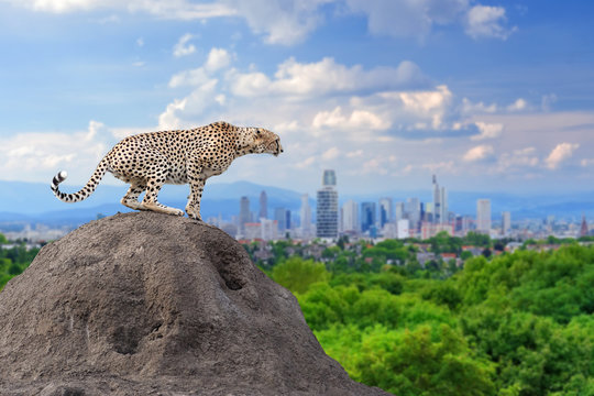 Cheetah with the city of on the background