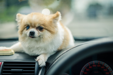 Pomeranian wait someone on the console in front of the car.
