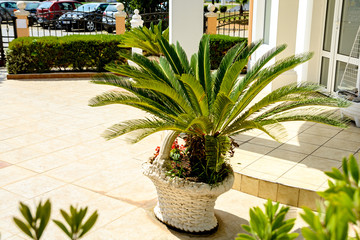 Decorative palm in the flowerpot