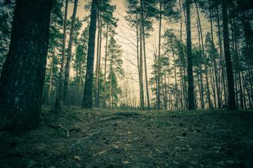 Pine Forest Spring Morning Retro