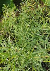 Estragon, Arthemisia dracunculus, Deutscher, Baden Baden,  Kraeuter, Heilpflanze