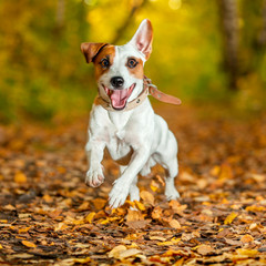 Running dog at autumn