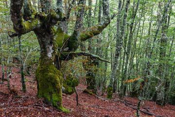 Hayedo. Bosque de hayas. Fagus sylvatica. Comarca de Riaño, León, España.