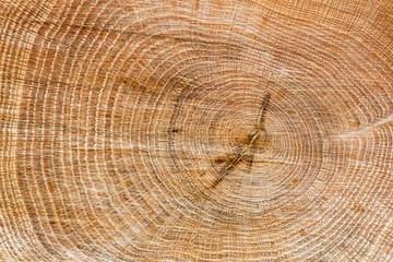 Corte en tronco de roble. Quercus.