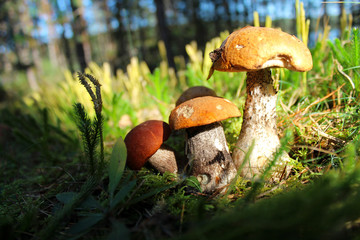 Forest mushrooms on a glade in a green moss.