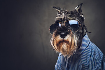 A dogs dressed in a blue shirt and sunglasses. Wall mural