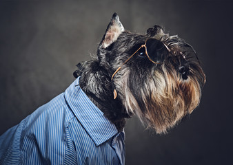 Wall Mural - A dogs dressed in a blue shirt and sunglasses.