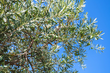 branch of olive tree and blue sky in Crimea