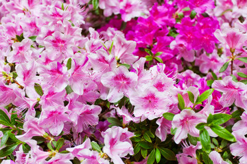 Background from the blossoming pink rhododendrons