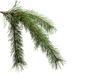 pine branch isolated