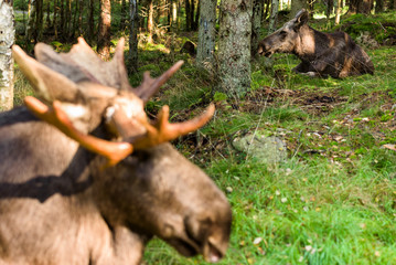 Moose (Alces alces) cow resting in the forest with blurred head of bull moose in foreground.