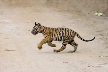 Junger Tiger kreuzt den Weg