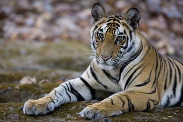 Tiger liegt auf einem Felsen