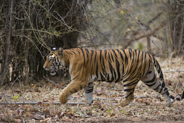Tiger durchstreift den Wald