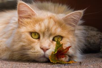 Maine Coon Katze schmust mit einem Herbstblatt