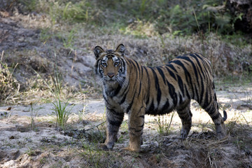 Tiger beobachtet die Umgebung