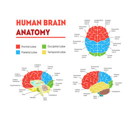 Human Brain Anatomy Card Poster. Vector