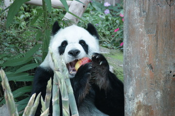 Female Giant Panda in Thailand, eating Red Apple