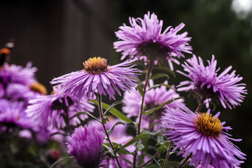 Aster flowers blooming in garden summer time.