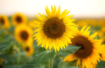 Close up of sunflower in the field