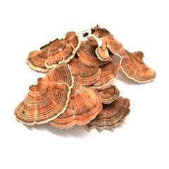 trametes versicolor mushroom