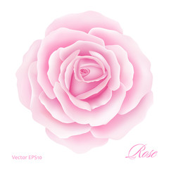 White background with a Pink Rose Flower. Vector illustration