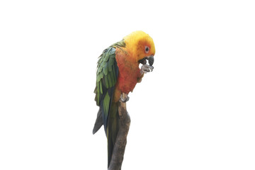 parrot sits on a branch on a white background isolated