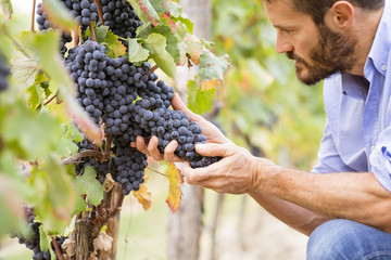 Man in the vineyards picking vine grapes