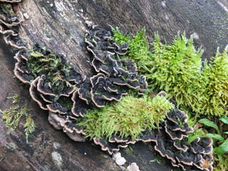 Many-zoned Polypore fungus and green moss on a tree