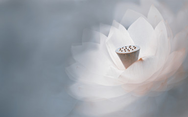 white lotus flower with a dreamy background