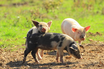 piglets in game