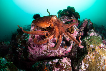оctopus in the deep ocean