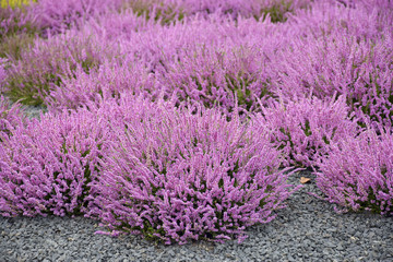 field of pink heather herb blossoms