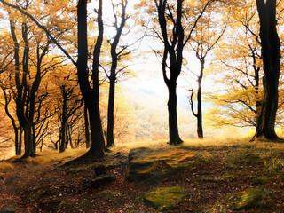 misty morning autumn forest sunrise in beech woodland