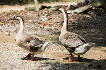Geese are walking in farm