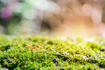 Red Ant Walking on Moss