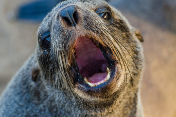 Portrait of beautiful South African fur seal at large seal colony, Cape Cross, Namibia, Southern Africa